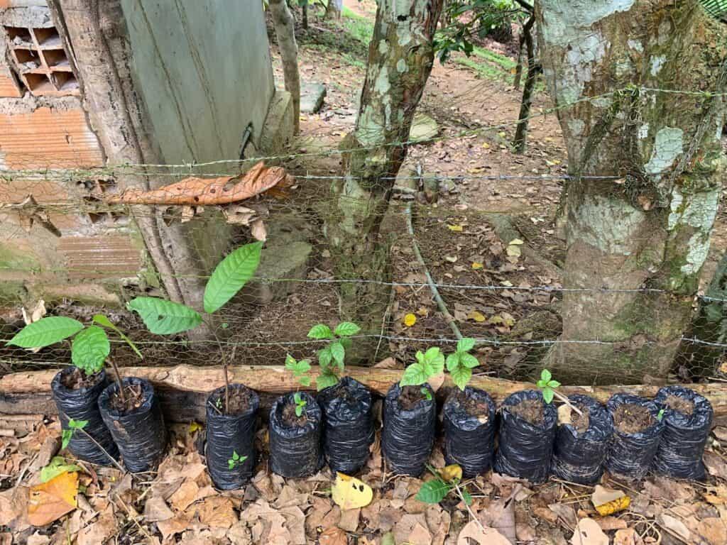 plantons de cacao