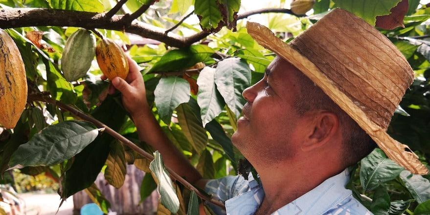 culture et marché du cacao