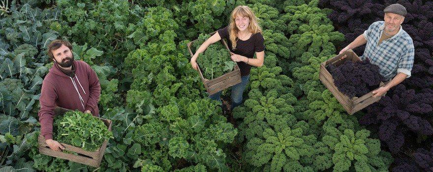 récolte choux kale bio
