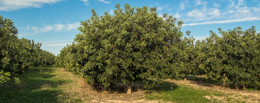 caroube arbre