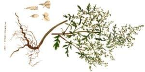 L'Artemisia, (faux) espoir contre le Coronavirus ?