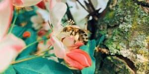 spiruline abeilles