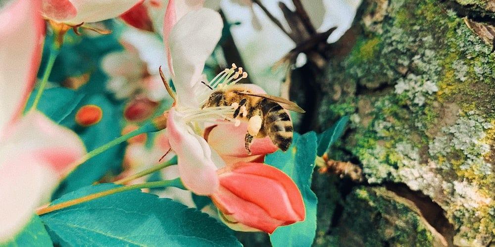 De la spiruline pour sauver les abeilles ?