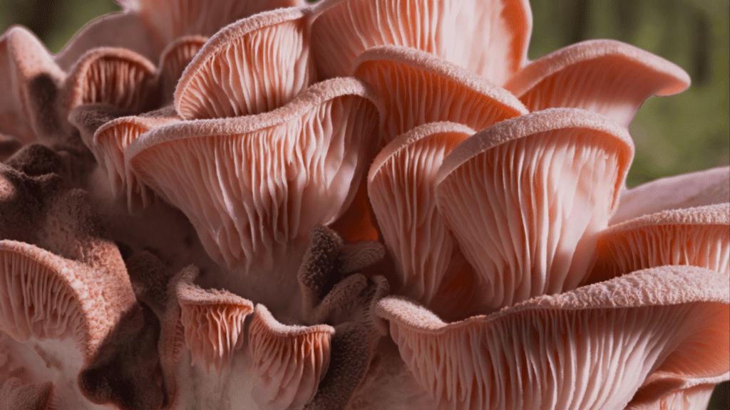 champignons fonctionnels