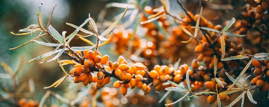 argousier fruit