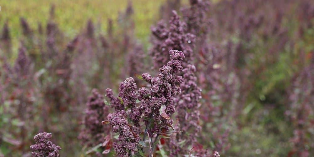 quinoa france